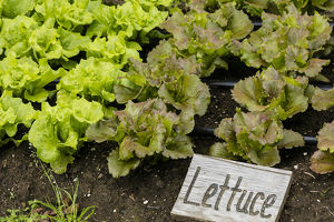 USA, Alaska. Lettuce in organic vegetable garden