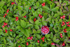 USA, Alaska, Nancy Lake State Recreation Area. Bunchberry and fly agaric mushrooms