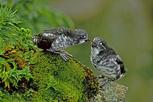 USA, Alaska, Pribilof Islands, St. George. Close-up of wild least auklet pair interacting