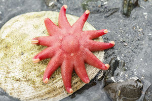 USA, Alaska. A red sun star on a clam shell at low tide