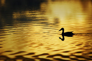 USA, Alaska, Silhouetted duck, Wonder Lake; yellow-gold color
