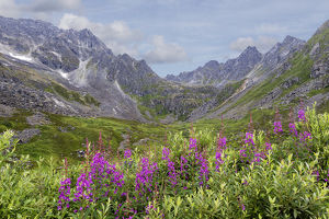 USA, Alaska, Talkeetna Mountains. Mountain landscape with fireweed flowers. Credit as