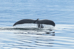 USA, Alaska, Tongass National Forest. Humpback whale diving