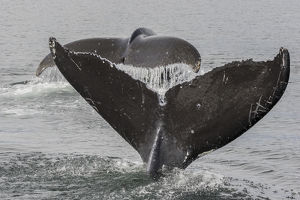 USA, Alaska, Tongass National Forest. Humpback whales diving