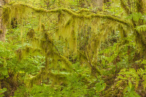 USA, Alaska, Tongass National Forest. Moss-covered tree limbs in Anan Creek. Credit as