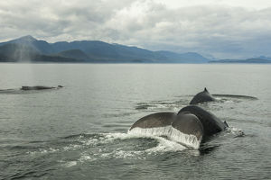 USA, Alaska, Tongass National Forest. Humpback whales surfacing & diving. Credit as