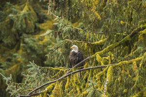USA, Alaska, Tongass National Forest. Bald eagle in tree
