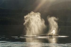 USA, Alaska, Tongass National Forest. Humpback whales spout on surface. Credit as