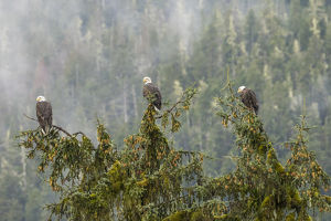 USA, Alaska, Tongass National Forest. Bald eagles in tree