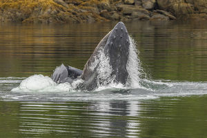 USA, Alaska, Tongass National Forest. Humpback whale lunge feeds