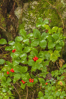 USA, Alaska, Tongass National Forest, Anan Creek. Berries on plants at tree base