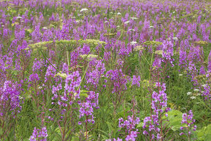 USA, Alaska, Valdez. Field of fireweed and cow parsnip flowers