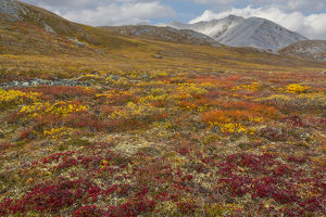 USA, Brooks Range, Gates of the Arctic National Preserve. Autumn color in tundra