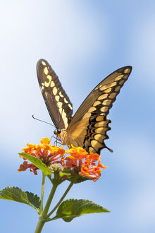 USA, California. Anise swallowtail butterfly on flower
