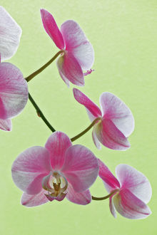 USA, California. Close-up of blooming orchids
