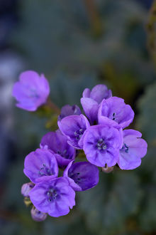 USA, California, Death Valley, Deep purple Notchleaf Phacelia wildflower