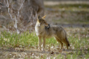 USA, California, Death Valley, Lone coyote (Canis latrans) standing in the grass