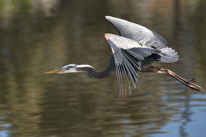 USA, California. Great blue heron flying over lake