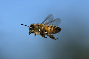 USA, California. Honey bee in flight. Credit as: Christopher Talbot Frank / Jaynes