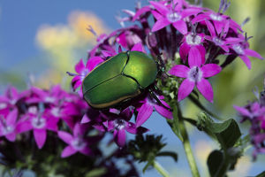 USA, California. June bug on flower. Credit as: Christopher Talbot Frank / Jaynes