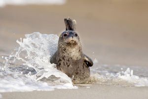 USA, California, La Jolla. Baby harbor seal on sand