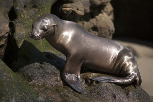 USA, California, La Jolla. Baby sea lion on rock