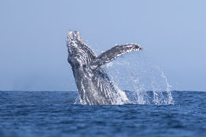 USA, California, La Jolla. Humpback whale breaching