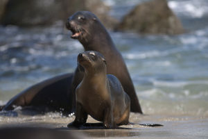 USA, California, La Jolla. Sea lions on beach surf