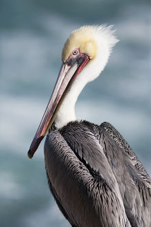 USA, California, La Jolla. Young brown pelican portrait