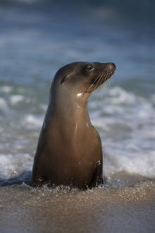USA, California, La Jolla. Young sea lion in beach water