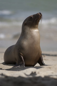USA, California, La Jolla. Young sea lion on sand