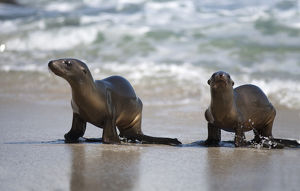 USA, California, La Jolla. Young sea lions on sand