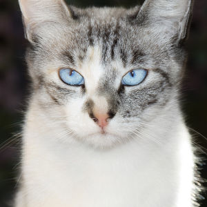 USA, California. Lynx point Siamese cat portrait