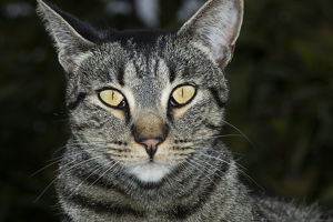 USA, California. Male tabby cat portrait