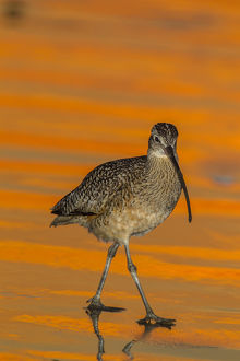 USA, California, Morro Bay. Long-billed curlew at sunset