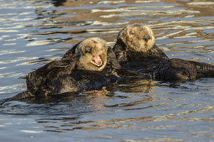 USA, California, Morro Bay. Sea otters resting and grooming