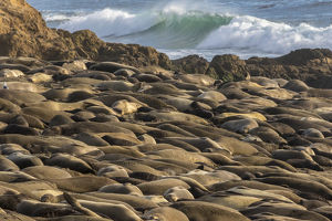 USA, California, Piedras Blancas. Northern elephant seal colony