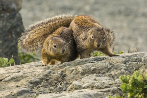 USA, California, Piedras Blancas. California ground squirrels' courtship behavior