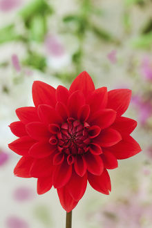 USA, California. Red dahlia close-up. Credit as: Dennis Flaherty / Jaynes Gallery