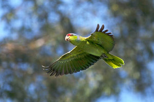 USA, California, San Diego. Wild parrot in flight
