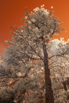 USA, California, Yosemite Valley. Infared of pine tree