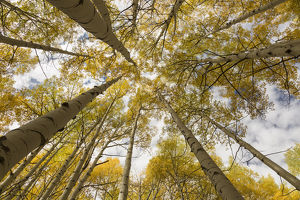 USA, Colorado, Gunnison National Forest. Aspen trees in autumn