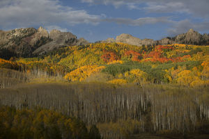 USA, Colorado, Gunnison National Forest. Fall display of aspen trees