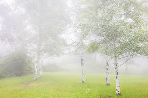 USA, Colorado, Pike National Forest. Fog envelopes aspen grove