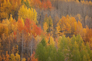 USA, Colorado, Red Mountain Pass. Autum-colored forest