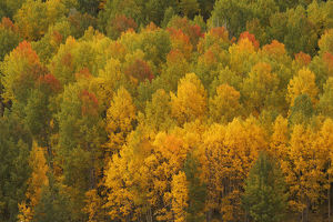 USA, Colorado, Rocky Mountains. Aspens in autumn color