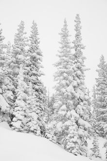USA, Colorado, San Isabel National Forest. Heavy snowfall dresses forest trees. Credit as