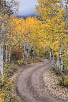 USA, Colorado, San Juan Mountains. Dirt road through aspen forest