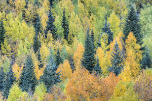 USA, Colorado, San Juan Mountains. Forest of aspens and spruce trees in autumn. Credit as