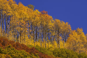 USA, Colorado, San Juan National Forest. Hilltop aspens in autumn